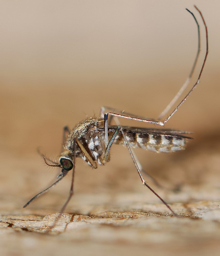 Up to 20,000 Genetically Engineered Mosquitoes Released in Australian Towns