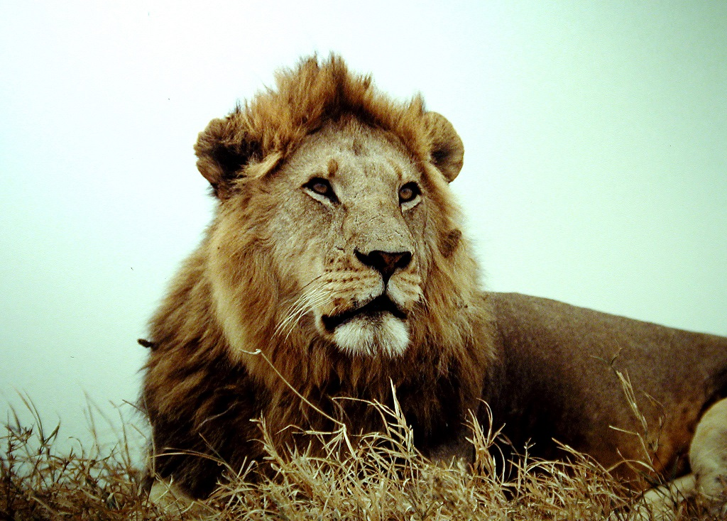 An old lion of the Serengeti