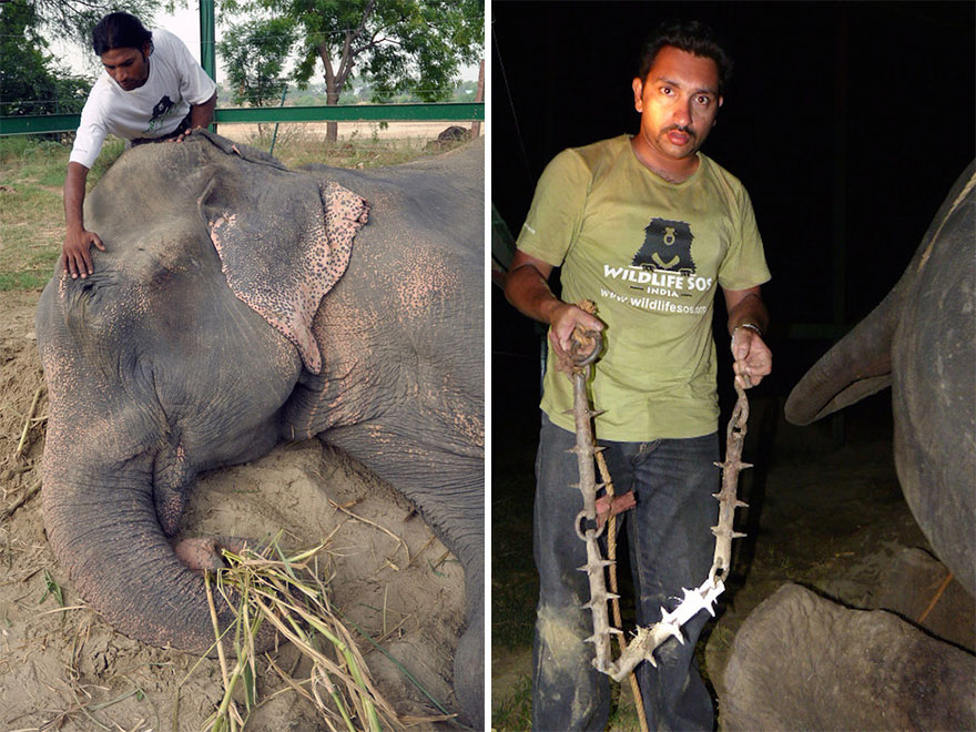 crying-elephant-raju-rescued-chained-50-years-8