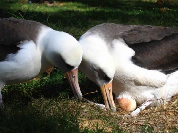 laysan-albatross-birds-pair-with-egg-725x544