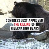 congress just approved the killing of hibernating bears