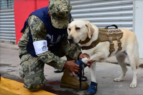 mexico earthquake hero rescue dog frida 5 59c3b3649c1ee  700