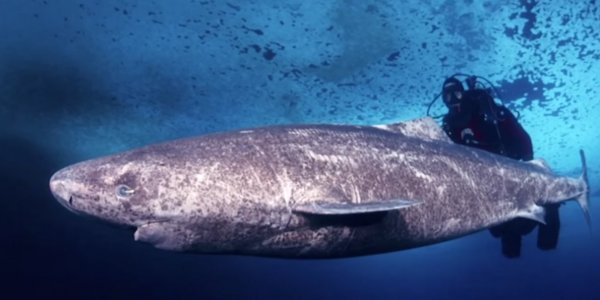 this 400 year old shark is the oldest vertebrate animal on earth scientists say