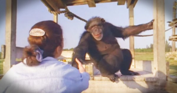 godvine chimps reunite with rescuer 18 years later