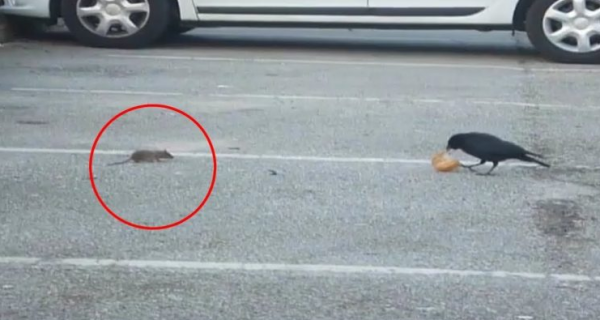 This Clever Crow Goes Out Of His Way To Share Food With A Hungry Mouse