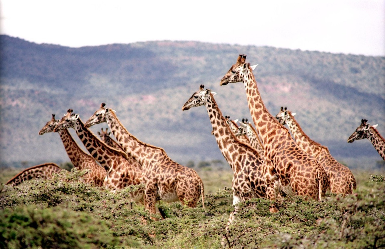 Dogs Its Official Giraffes Added To Endangered Species List Under Threat Of Extinction The Science News Reporter Its Official Giraffes Added To Endangered Species List Under