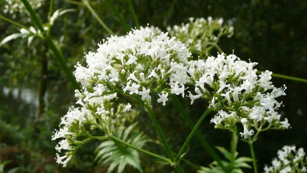 valeriana officinalis 848738 960 720