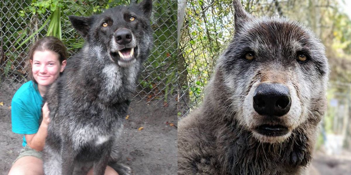 Wolfdog Dumped At Kill Shelter Receives Second Chance At