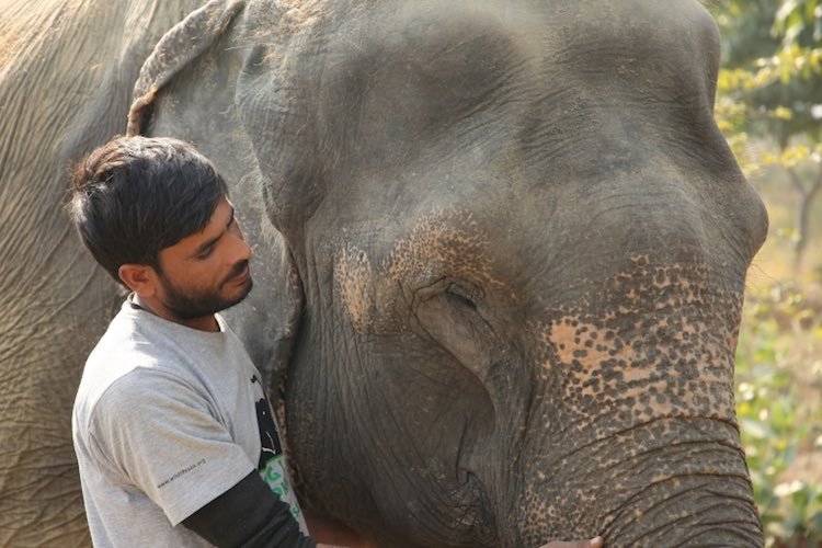 Elephant Being Treated By Man Wildlife SOS Released
