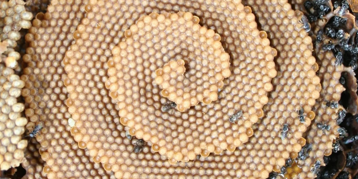 Scientists Are Baffled Why This Group Of Bees Built A Spiral Nest Dsgsrgf