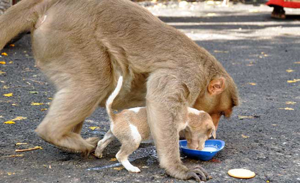 monkey adopts puppy erode india 10