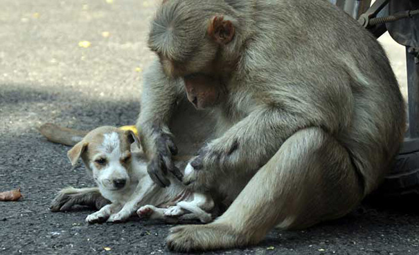 monkey adopts puppy erode india 11