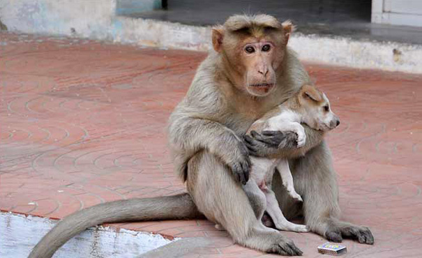 monkey adopts puppy erode india 13