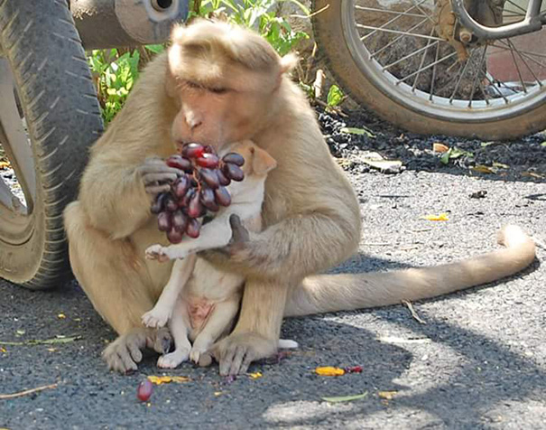 monkey adopts puppy erode india 3