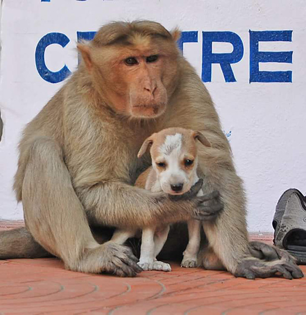 monkey adopts puppy erode india 4