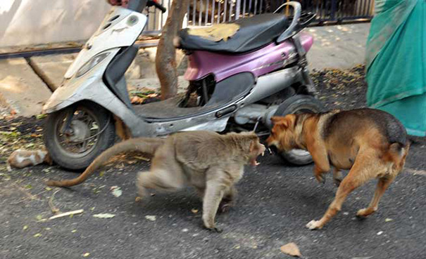 monkey adopts puppy erode india 5