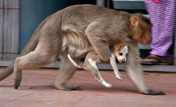 monkey adopts puppy erode india 7