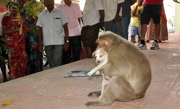 monkey adopts puppy erode india 9