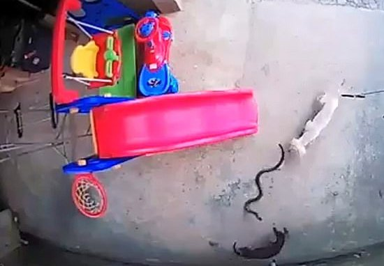 Dogs rescue toddler from cobra 2