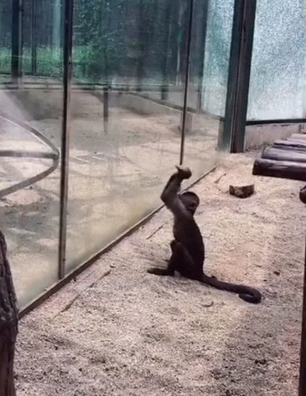 Monkey In Zoo Sharpened A Rock And Used It To Shatter Its Glass Enclosure 1