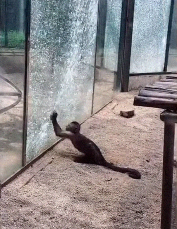 Monkey In Zoo Sharpened A Rock And Used It To Shatter Its Glass Enclosure 3