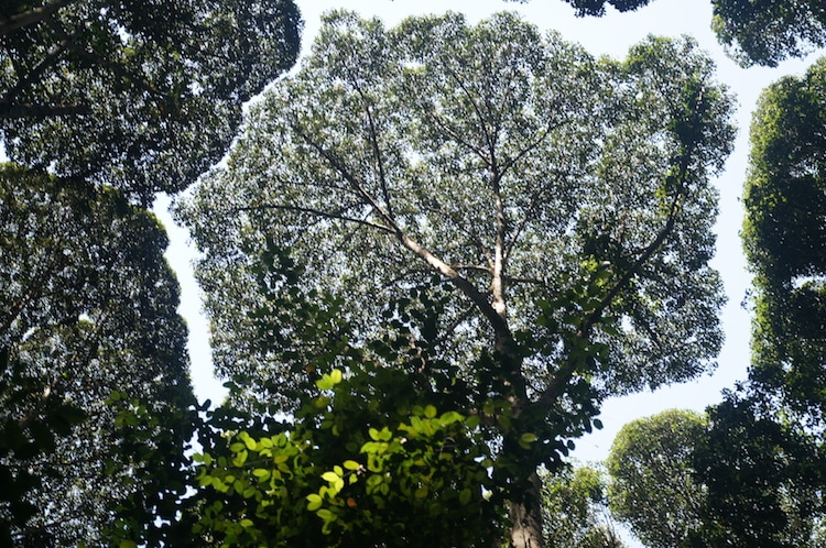 crown shyness of trees 3
