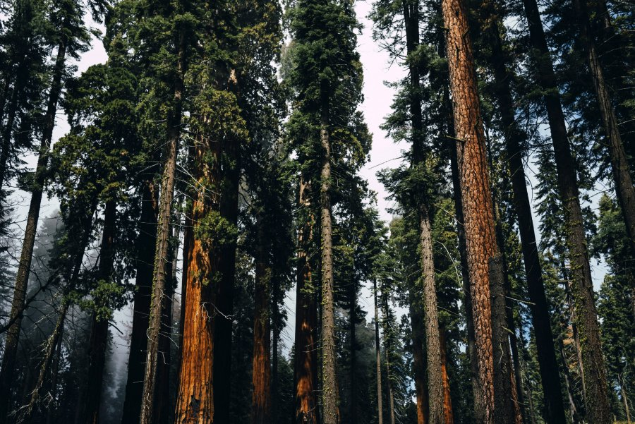 tall pine forest sequoia national park california