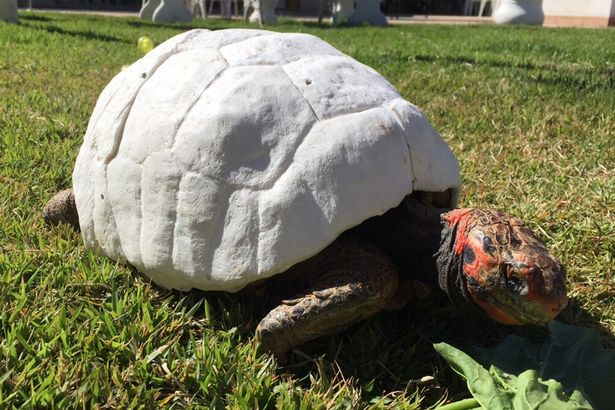 PAY Freddy the Turtle was given a 3D printed shell