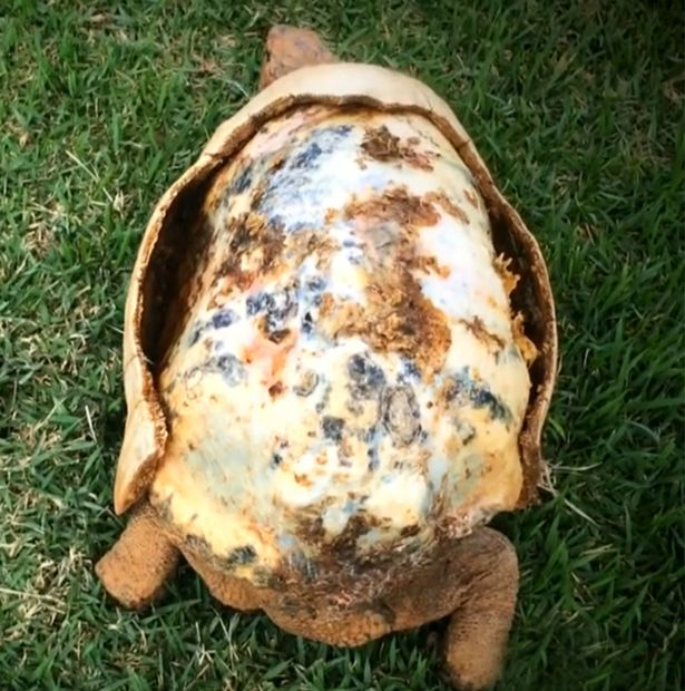injured tortoise