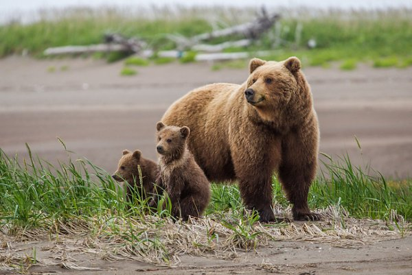 Brown bear grizzly EE49541