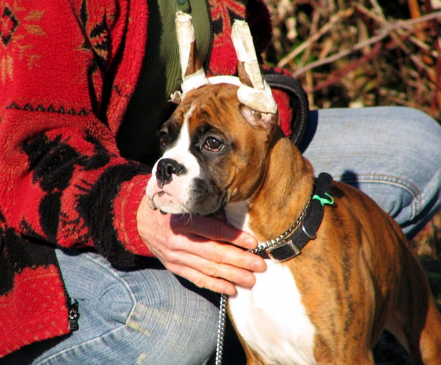 Boxer puppy ears taped