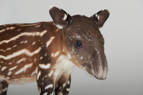 Close-up portrait of young tapir
