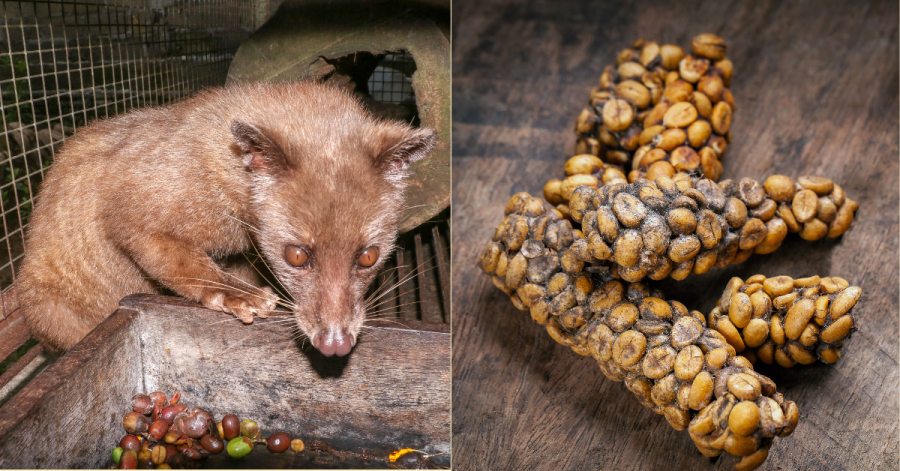Palm Civet eats ripe robusta coffee berries
