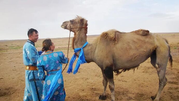 Loyal Camel With Owners
