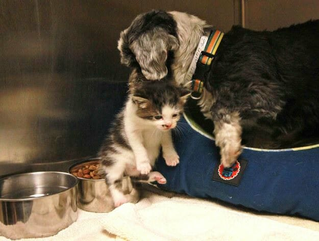 non-pregnant dog and her kitten