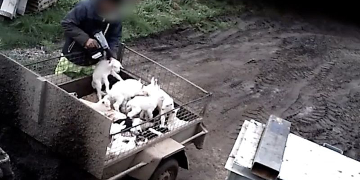 Farmer Shooting Baby Goats In The Head