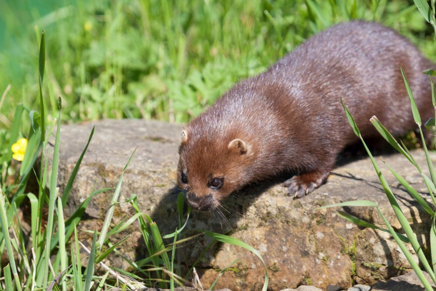Mink In Field