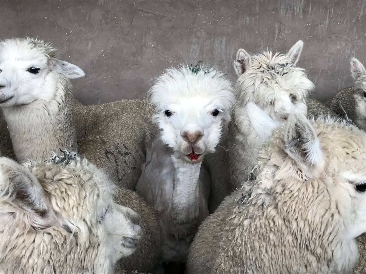 Exploitation Of Alpacas
