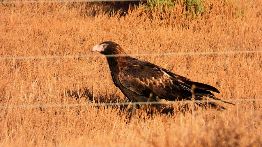 Australian Wedge Tailed Eagle on the Ground