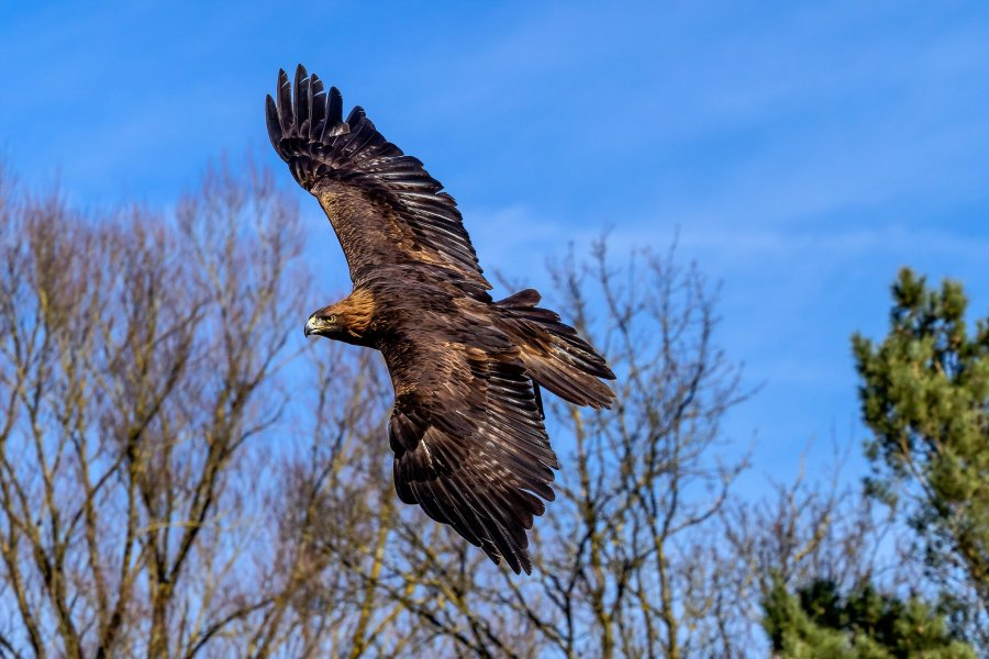 The golden eagle, Aquila chrysaetos is one of the best-known birds of prey in the Northern Hemisphere.