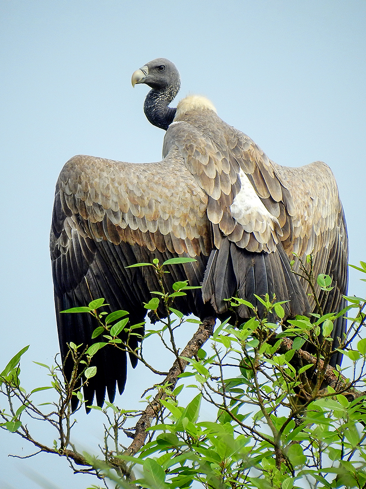 Indian Vulture