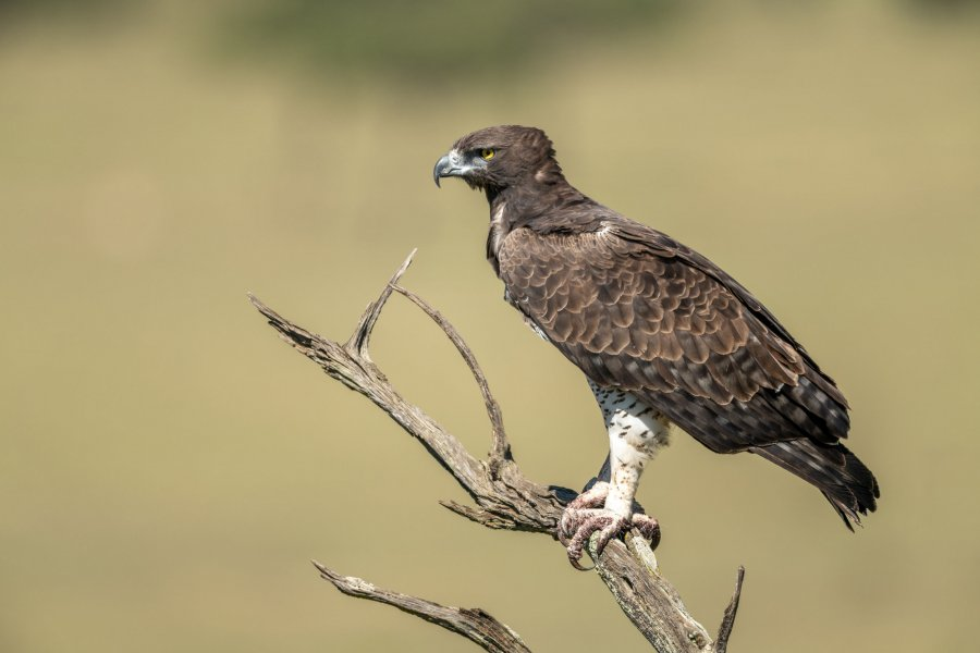 Martial eagle looks out from dead tree